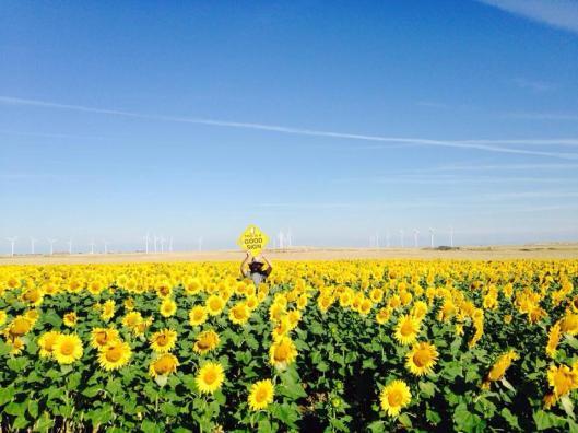 Sunflower Spain